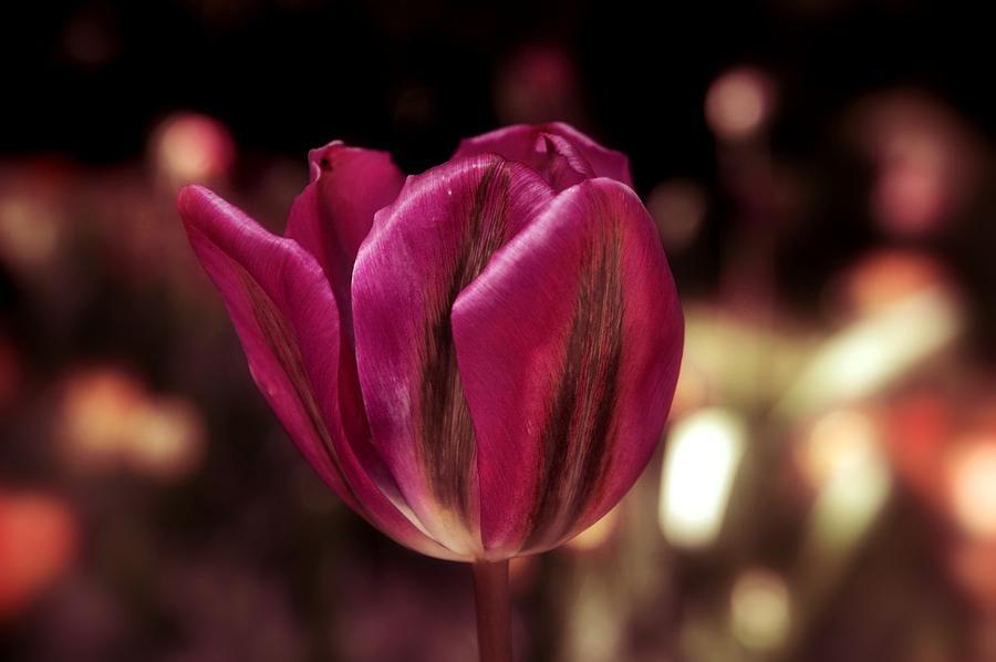 Tulip #22 Photograph