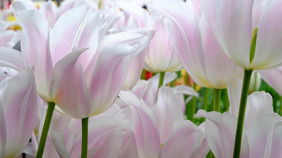 Tulip Serenity Photograph