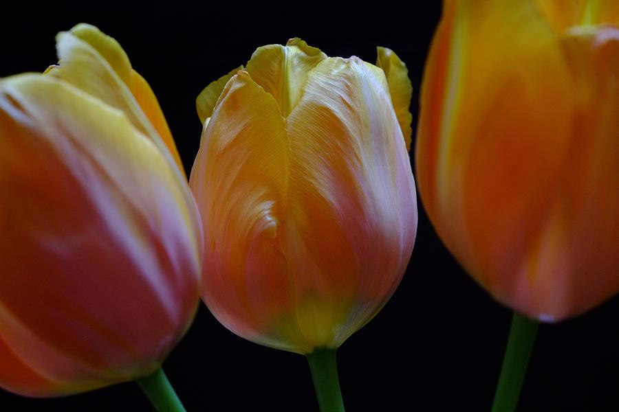 Tulip Trio Photograph