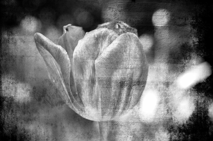 Tulip #19 Photograph