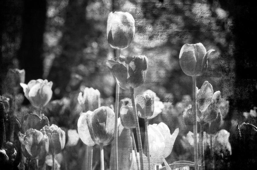 Tulips #27 Photograph