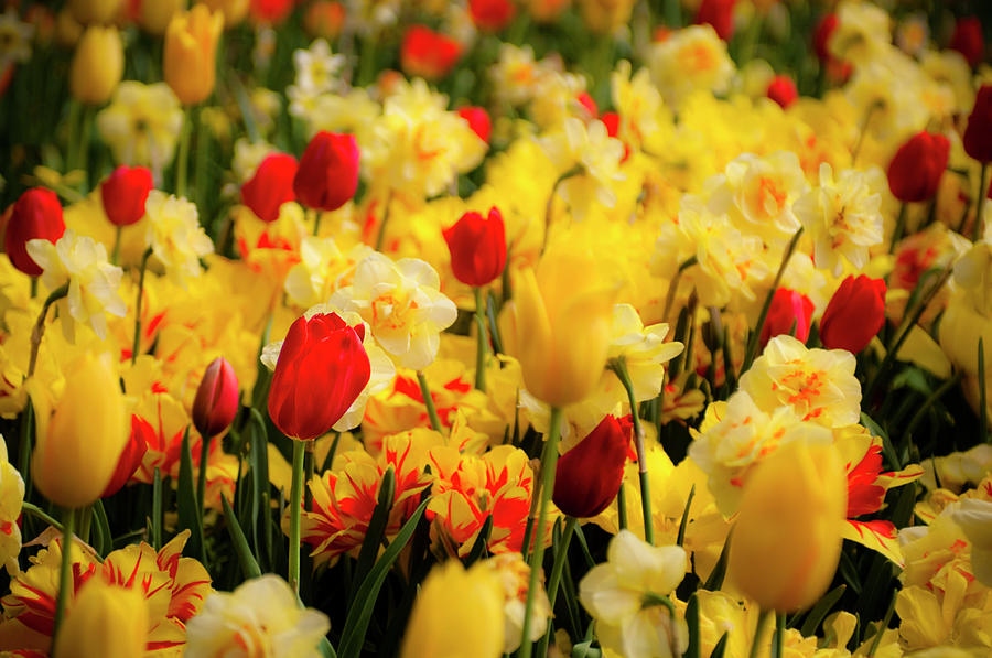 Arboretum Photograph - Tulips And Daffodils by Tamyra Ayles