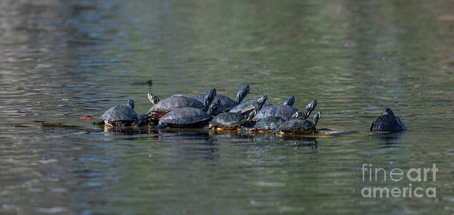Turtle Hang Out Photograph