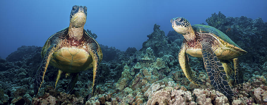 Turtle Panorama Photograph By Dave Fleetham Printscapes