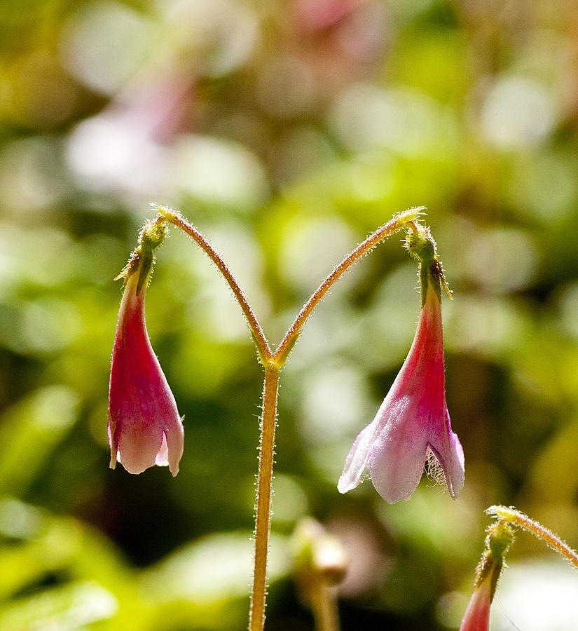 Twinflowr Photograph - Twinflower by Allan MacDonald