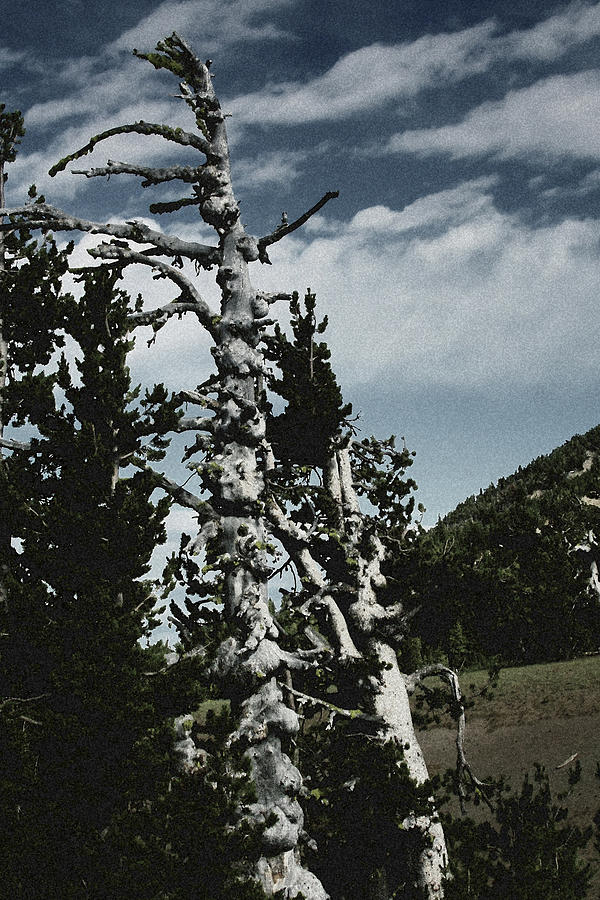 Twisted Whitebark Pine Tree - Crater Lake - Oregon Photograph