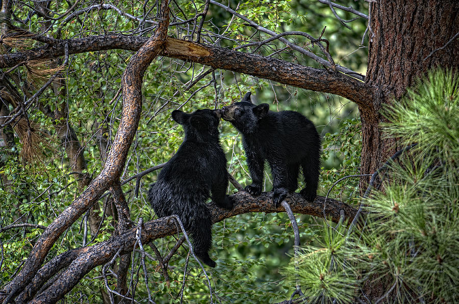 Two Bear Cubs Kissing Up A Tree Photograph