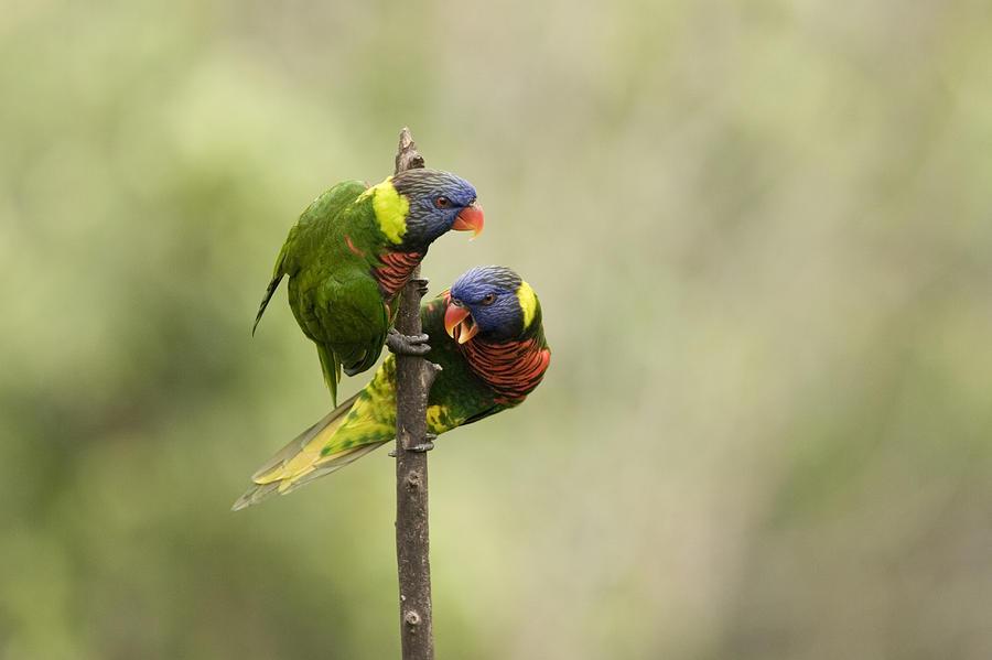 Two Animals Photograph - Two Captive Rainbow Lorikeets by Tim Laman