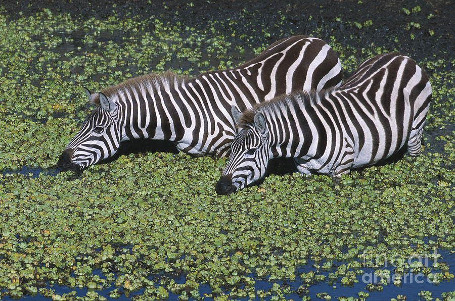 Zebra Photograph - Two For Lunch by Sandra Bronstein