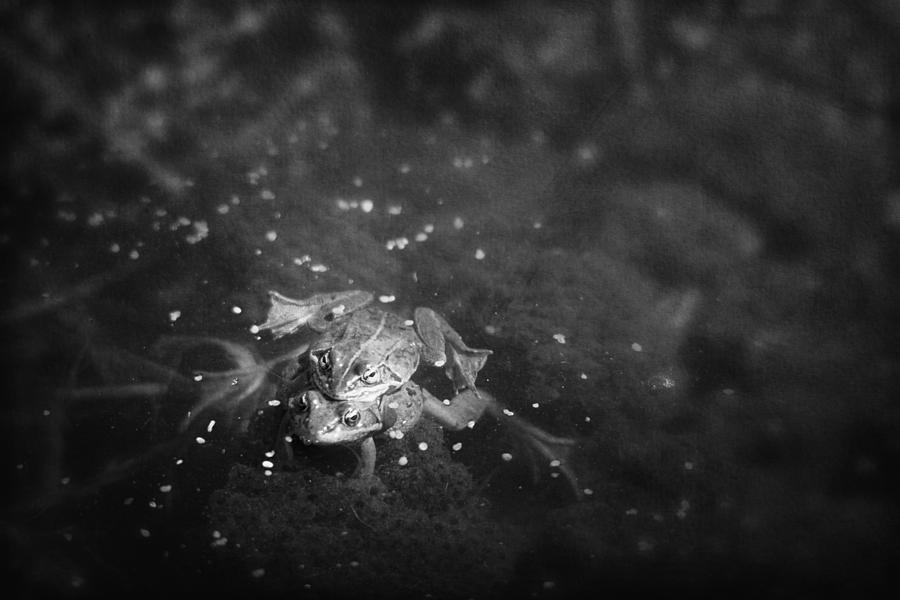 Canada Photograph - Two Frogs In A Pond Mating By Laying by Roberta Murray