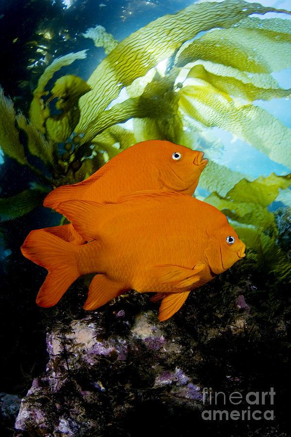 Animal Art Photograph - Two Garibaldi by Dave Fleetham - Printscapes