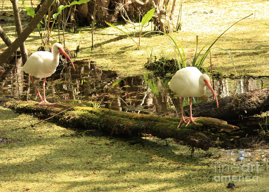 Birds Photograph - Two Ibises On A Log by Carol Groenen