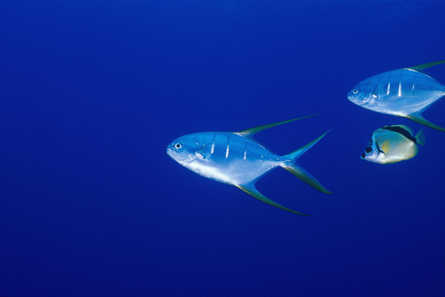 Diving; Sea Of Cortez; Underwater; Water; Pacific Ocean Photograph - Two Pompano Fish And A Cleaner Fish by James Forte