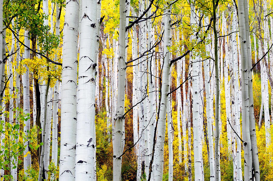 Aspen Trees Photograph - Uphill by The Forests Edge Photography - Diane Sandoval
