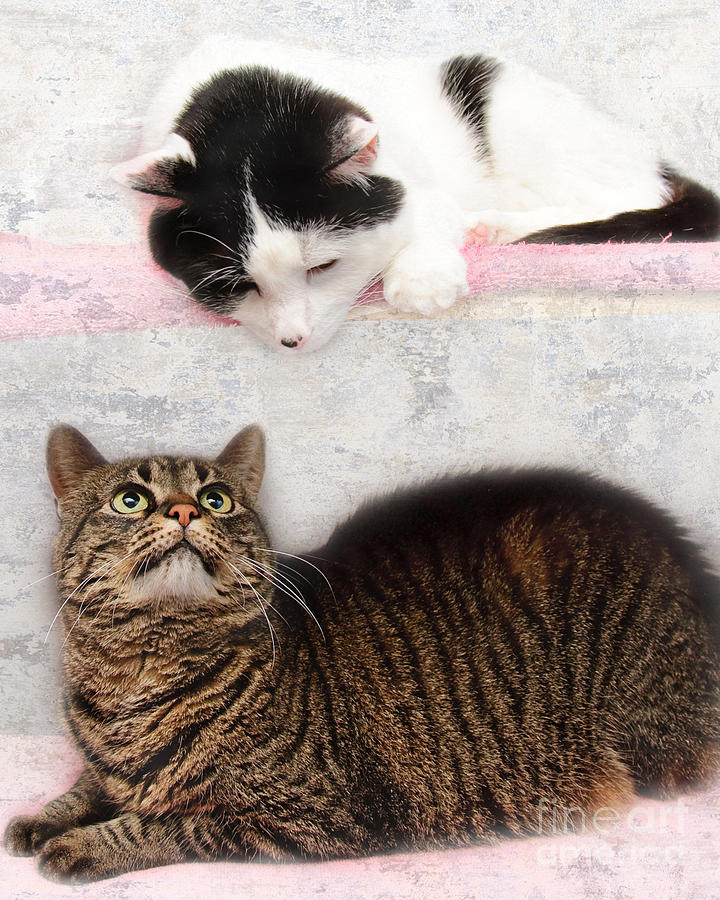 Fine Art Cat Photograph - Upstairs Downstairs With Emmy And Pepper by Andee Design