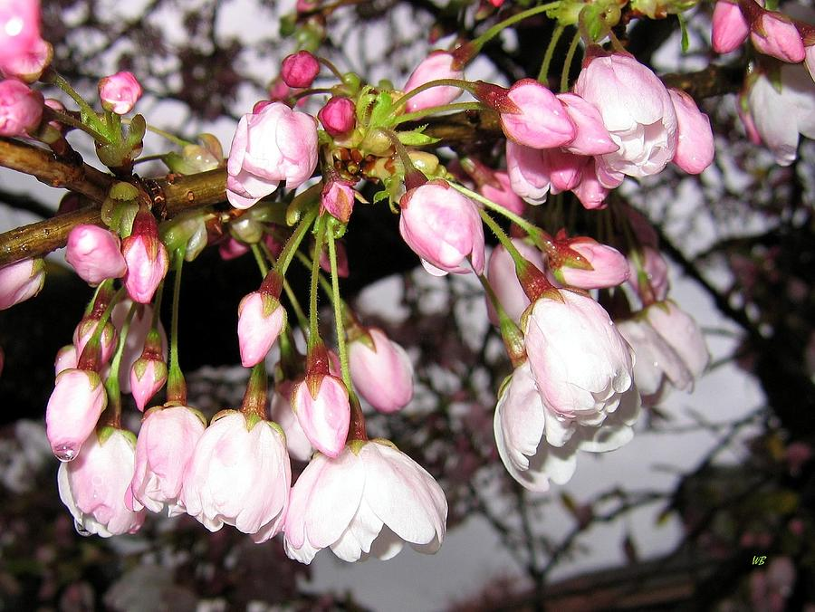Cherry Blossoms Photograph - Vancouver Cherry Blossoms by Will Borden