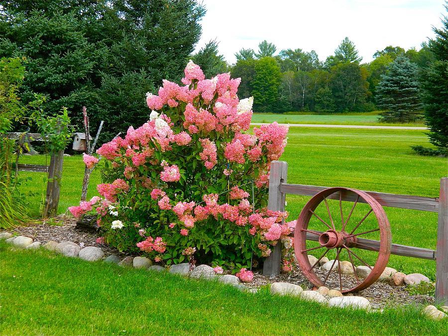 Vanilla Strawberry Hydrangea Photograph By Randy Rosenberger