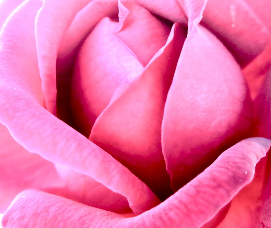 Photograph Of Pink Rose Photograph - Vavavoom by Gwyn Newcombe