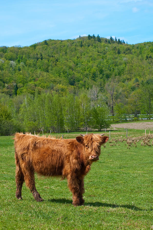 Vermont Photograph - Vermont Cow by Mandy Wiltse