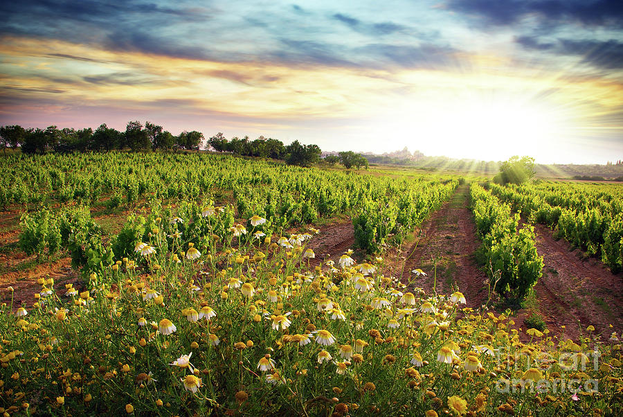 Agriculture Photograph - Vineyard by Carlos Caetano