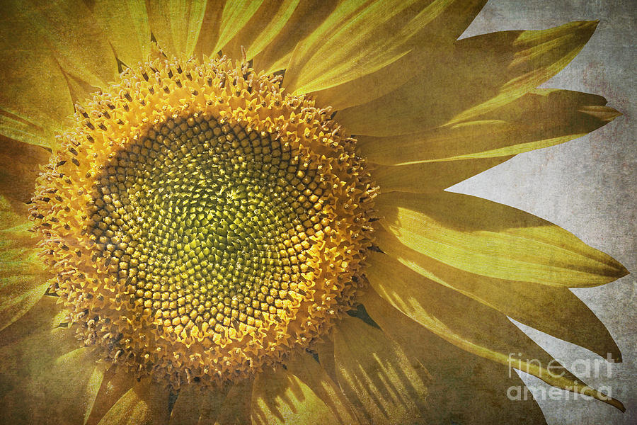 Abstract Photograph - Vintage Sunflower by Jane Rix
