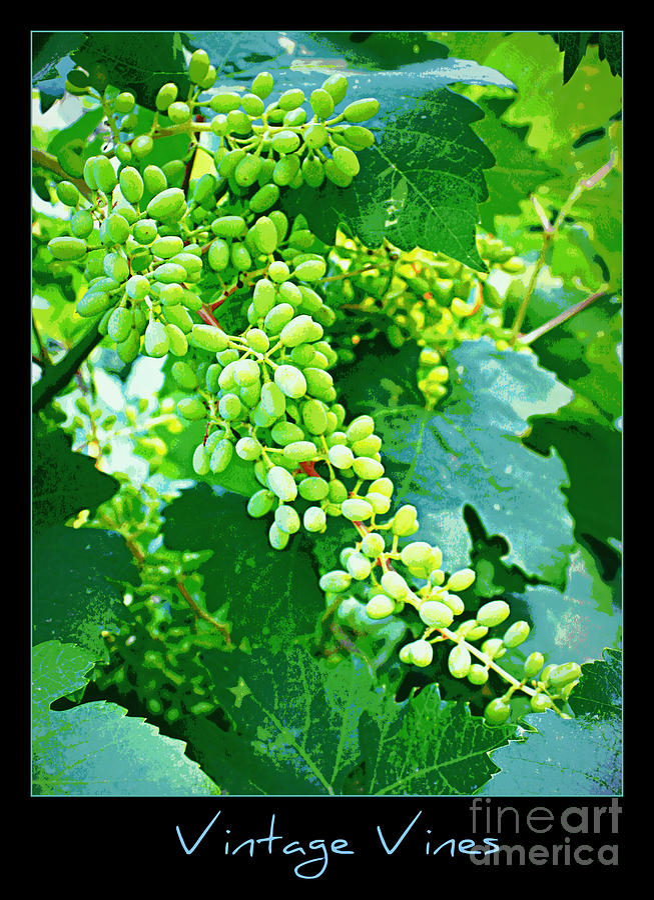 Vineyard Photograph - Vintage Vines  by Carol Groenen