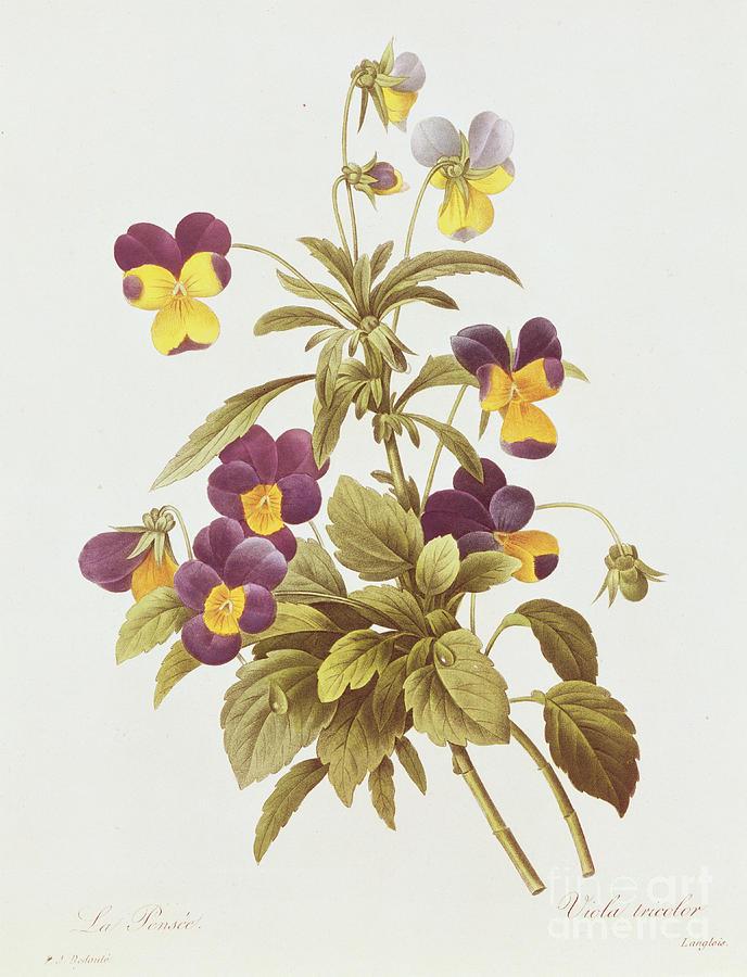 Viola Tricolour Drawing