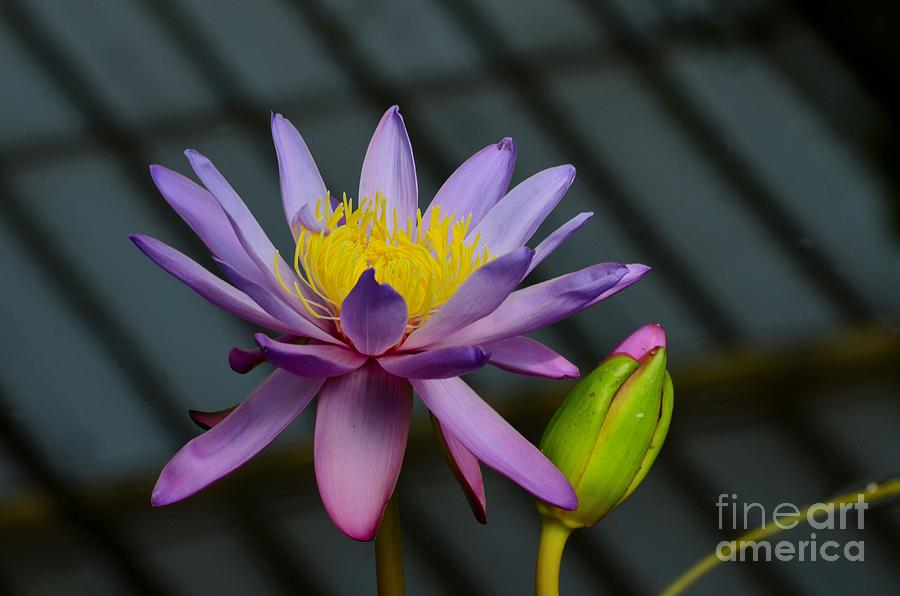 yellow water lily flower - photo #19