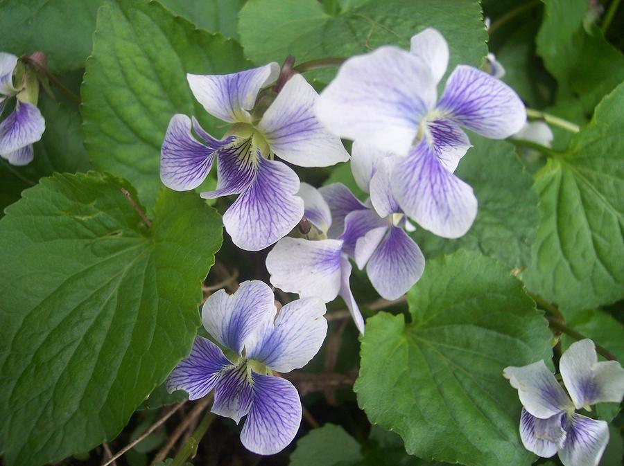 Flowers Garden Violets White Purple Green Photograph - Violets 2 by Anna Villarreal Garbis