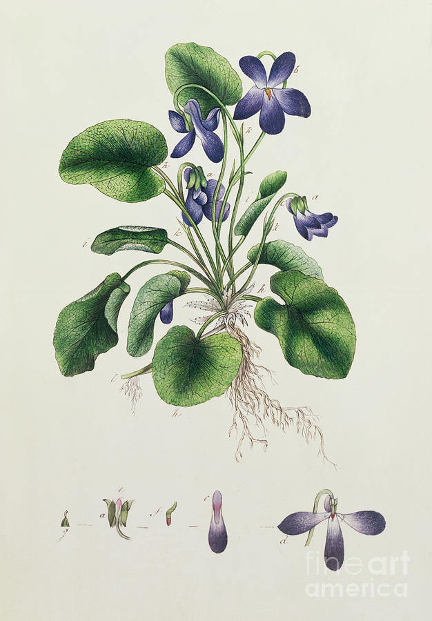 Violets Painting By English School
