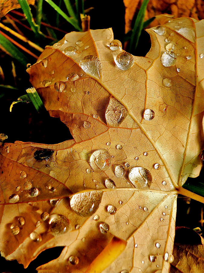Leaves Photograph - Water Drops by Liz Vernand
