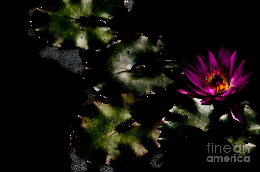Water Lily At Dusk Photograph