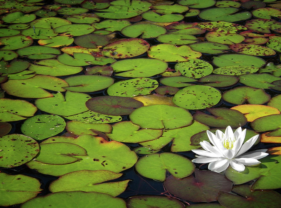 Green Photograph - Water Lily by Elisabeth Van Eyken