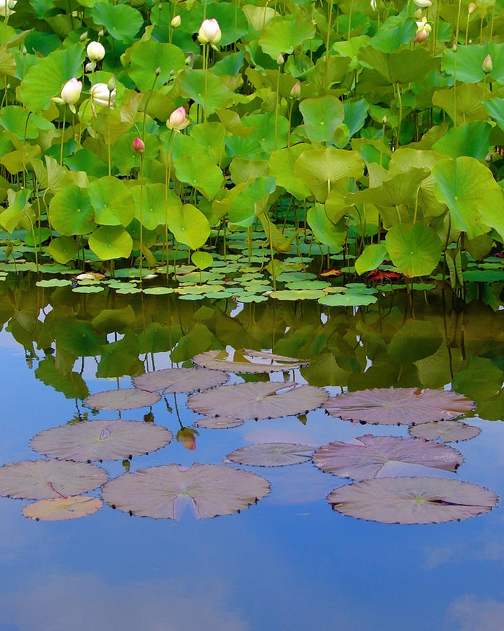 Water Lilies Photograph - Water Lily Sky by Nada Frazier