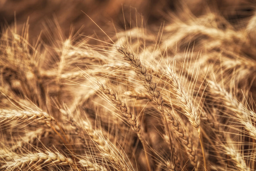 Waves Of Wheat Photograph