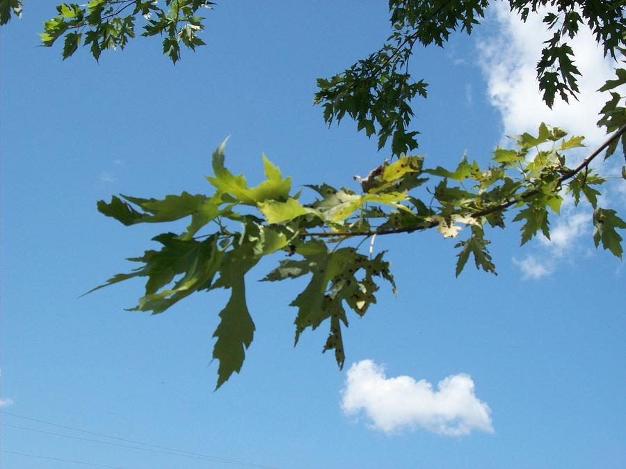 Leaf Sky Cloud Blue Photograph - Way Up by Kyle Hughey