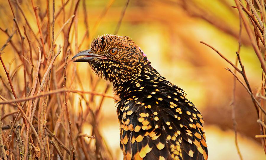 Western Bowerbird Photograph