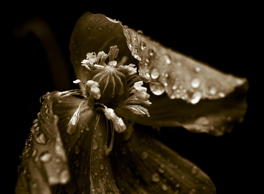 Wet Opium Poppy Photograph