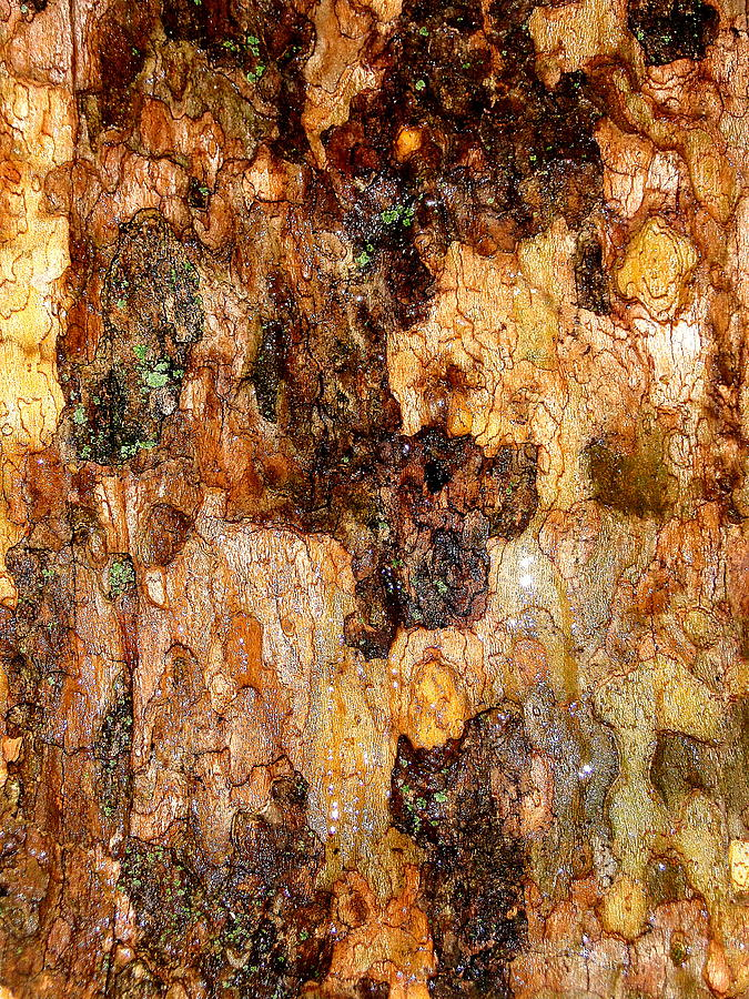 Sycamore Photograph - Wet Tree Bark 1 by Beth Akerman