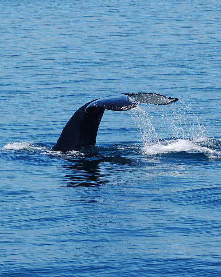 Whales Photograph - Whales Tale by Lisa Kane