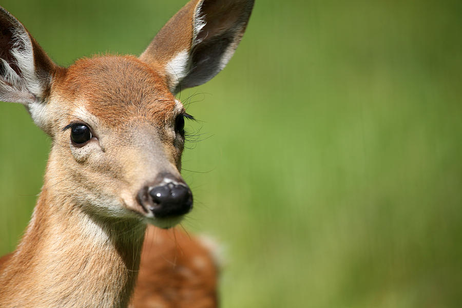 Deer Photograph - What A Face 1 by Karol Livote