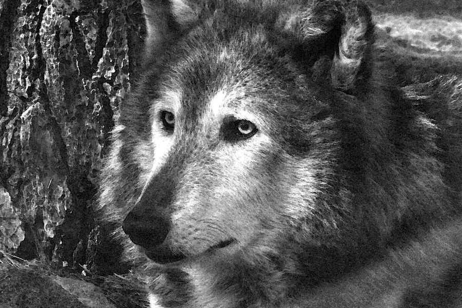 Wolf Photograph - What Is A Wolf Thinking by Karol Livote