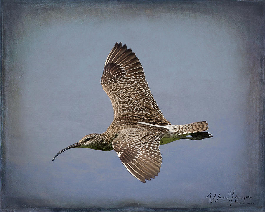 Whimbrel - 1627,st Photograph