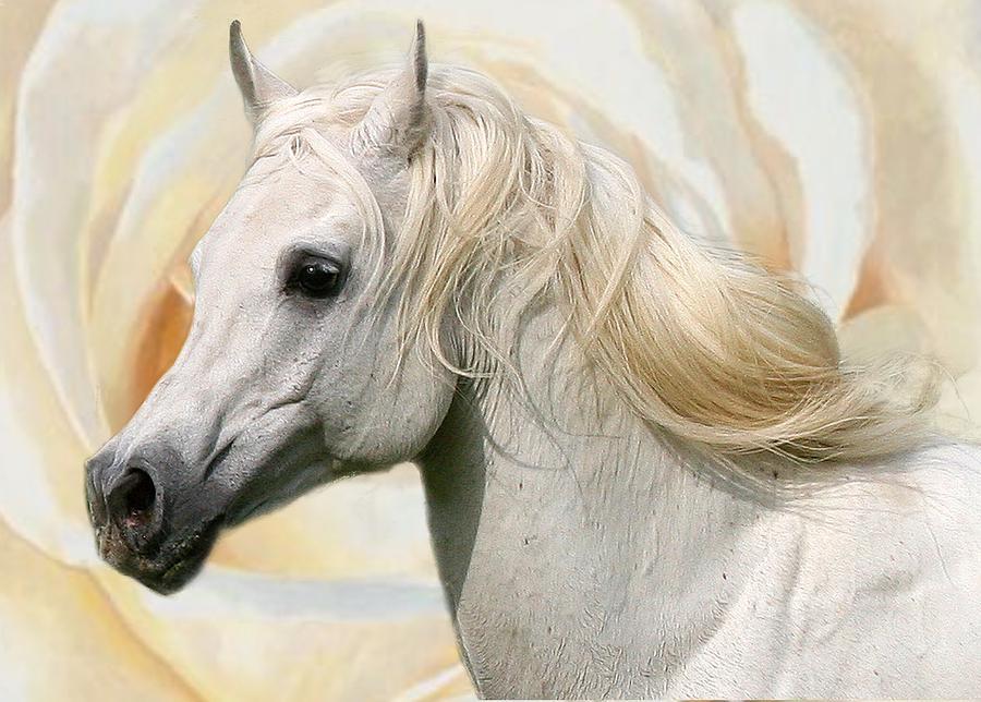 White Arabian Stallion Photograph
