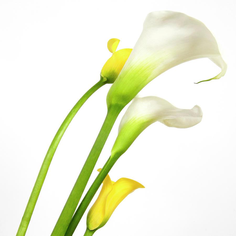 Arome Photograph - White Arums In Studio. Flowers. by Bernard Jaubert