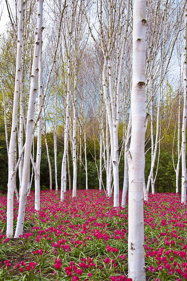 White Birch Trees With A Red Flowers Carpet Photograph