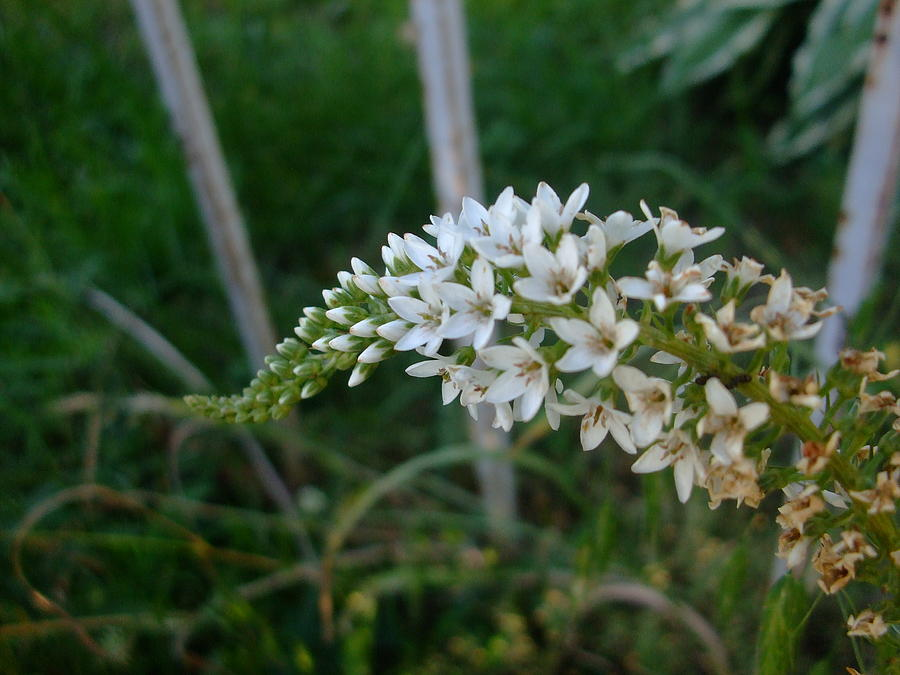 White Blossums Photograph