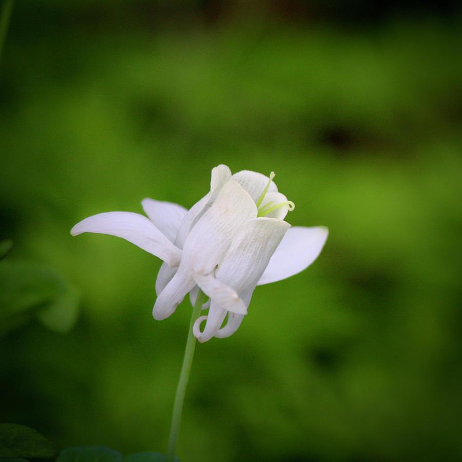 White Columbine Squared Photograph
