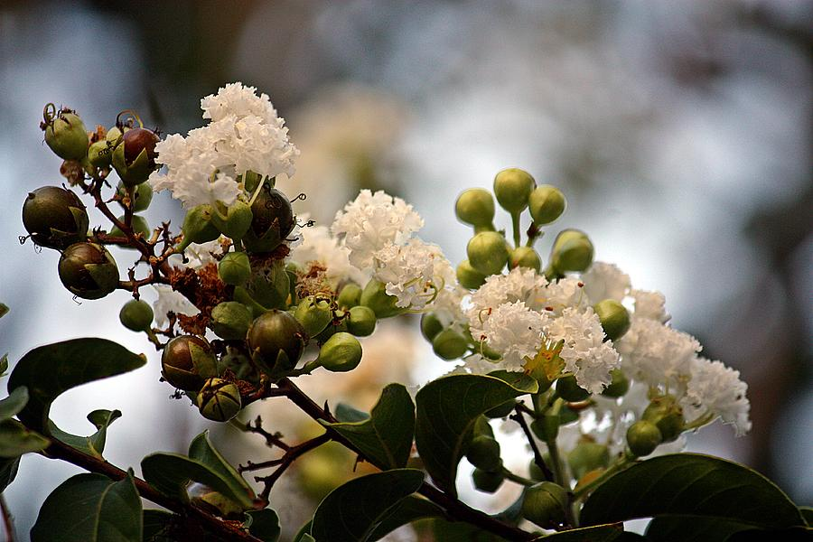 Lagerstroemia Photograph - White Crape Myrtle- Fine Art by KayeCee Spain