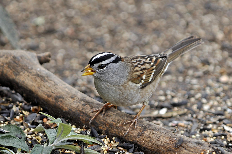 White Crowned Photograph - White Crowned Sparrow With Seeds by Laura Mountainspring